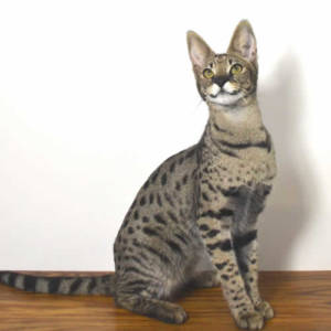 Savannah Cat Prices Explanation Of How Savannah Cats Are Priced