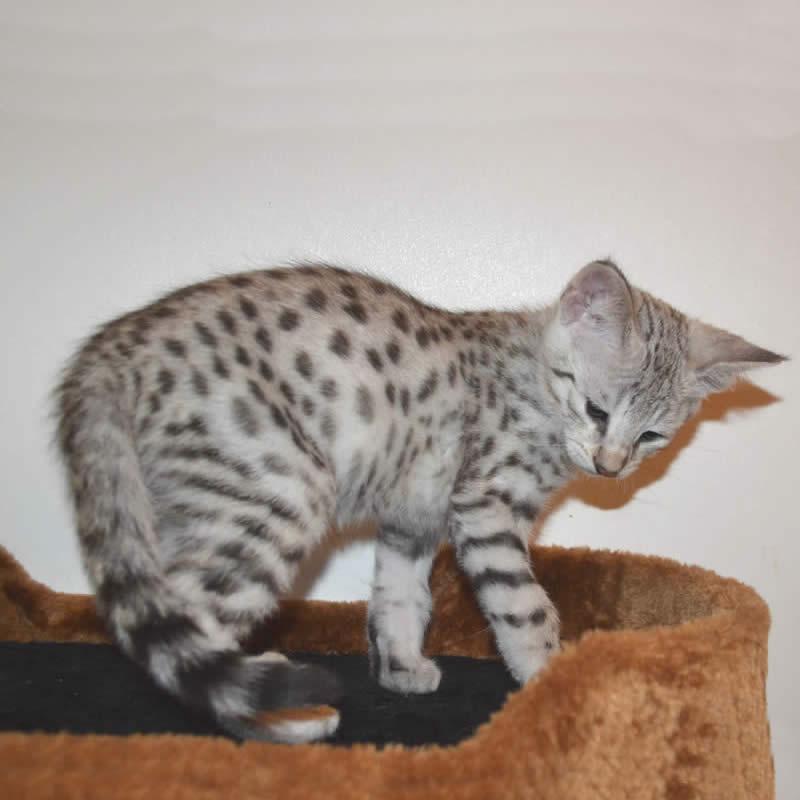 F2 Savannah Kittens Available in Ohio Savannah Cats Call ...