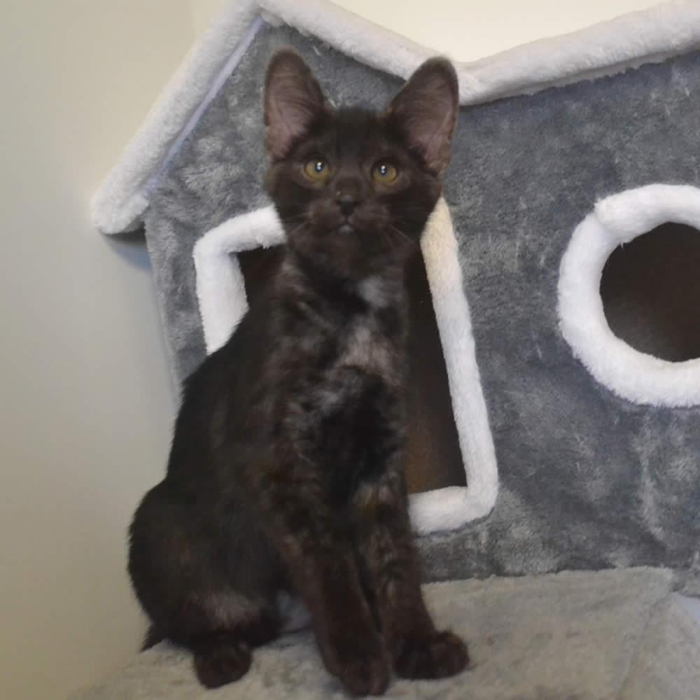 F2 Savannah Kittens Available in Ohio Savannah Cats Call 419