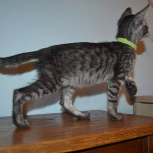 F5 Savannah Kittens Available Savannah Kittens for Sale