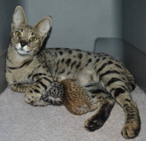 F2 Savannah Kittens Available in Ohio Savannah Cats Call 419